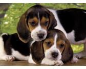 Puzzle Beagel kutyák